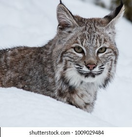 Juvenile Bobcat in the Snow