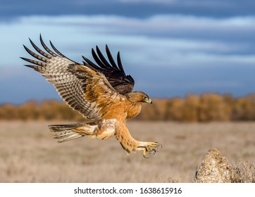Juvenile Bonelli's eagle (Aquila fasciata) in landing to the rock in the wild nature environment; Lagoon El Taray in community Castilla-La Mancha (Spain), 30-11-2019.