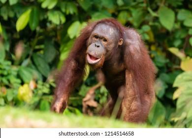 A juvenile Bornean Orangutan at a rehabilitation area in the rainforest of eastern Sabah