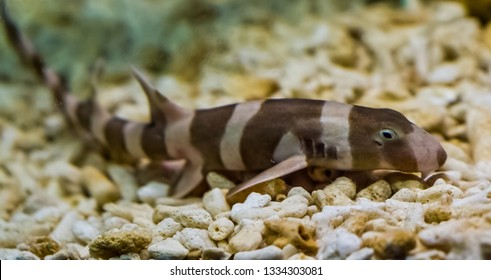 juvenile brown banded bamboo shark laying on the bottom, popular fish in aquaculture, tropical young fish from the pacific ocean