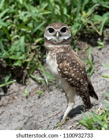 Juvenile brown and white burrowing owl with large black eyes standing outside of the nest against green grass.