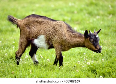 Juvenile brown and white goat (Capra aegagrus hircus) on grass and view of profile