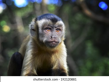 Juvenile Capuchin monkey in the forest