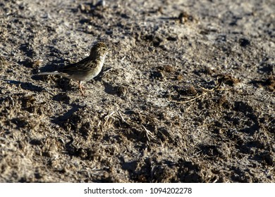 Juvenile Chipping Sparrow crosses a muddy field in Alamosa National Wildlife Refuge in southern Colorado