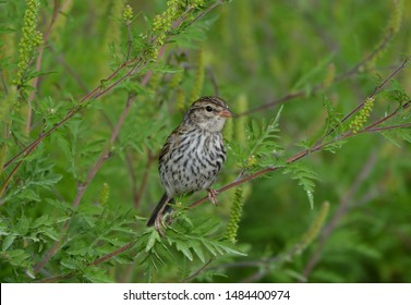 Juvenile Chipping Sparrow on a branch