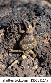 Juvenile Chuckwalla on volcanic rock, Amboy Crater, CA