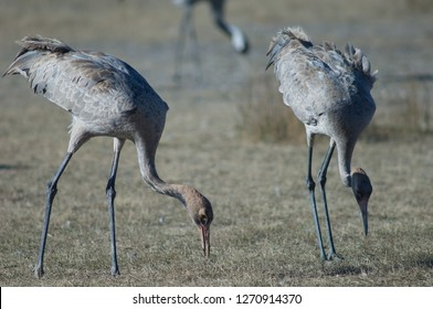 Juvenile common cranes (Grus grus) searching for food. Gallocanta Lagoon Natural Reserve. Aragon. Spain.