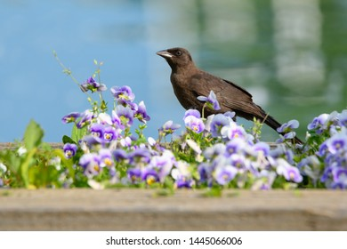 A juvenile Common Grackle strolls along a flower bed filled with pansies at Ashbridges Bay Park in Toronto, Ontario, Canada.