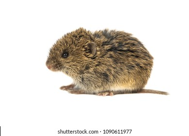 Juvenile Common Vole mouse (Microtus arvalis) isolated on white background