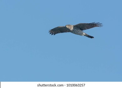 Juvenile Cooper's Hawk flying across the clear blue sky. Lynde Shores Conservation Area, Whitby, Ontario, Canada.