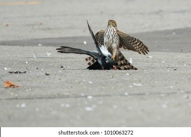 Juvenile Cooper's Hawk holding a Rock Pigeon on pavement. Toronto, Ontario, Canada.
