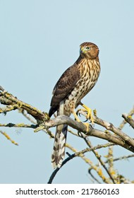 A juvenile Cooper's hawk searches its surroundings for signs of small bird prey.