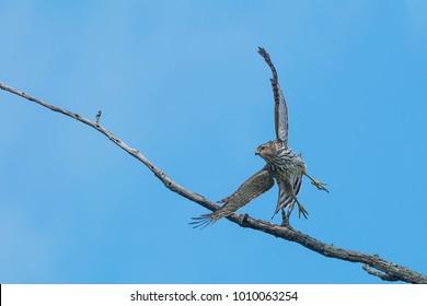 Juvenile Cooper's Hawk taking off from a tree. McKenzie Marsh, Aurora, Ontario, Canada.
