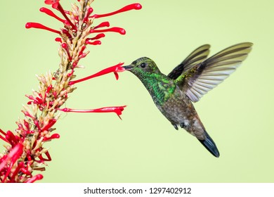 "A juvenile Copper-rumped hummingbird feeding on the ""hummingbird plant""."