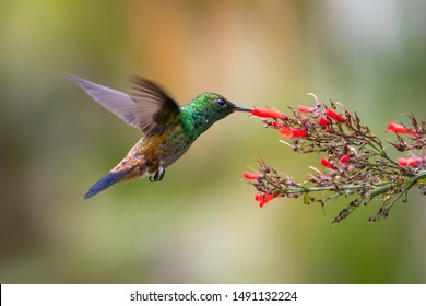 A juvenile Copper-rumped hummingbird feeding on a red Antigua Heat flower with a colorful blurred background.