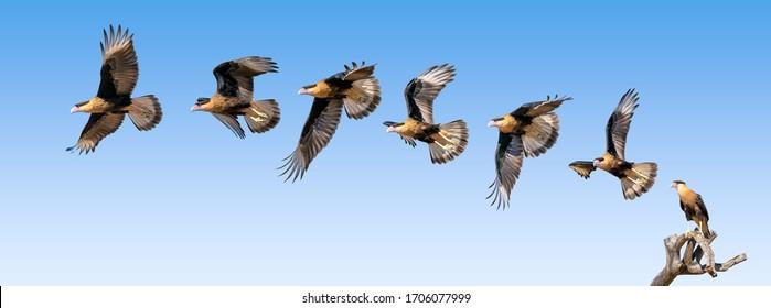Juvenile Crested Caracara Bird Caracara cheriway Predator