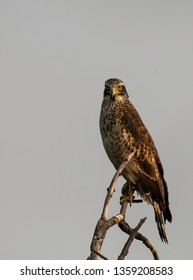 A juvenile crested serpent eagle resting on a tree branch inside Keoladeo National Park on a cloudy cold winter morning