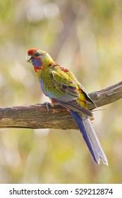 Juvenile Crimson Rosella, Australian Native Parrot