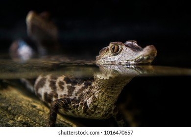 Juvenile Cuvier's Dwarf Caiman (Paleosuchus palpebrosus) swimming with head above the water surface.