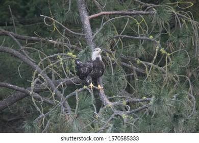Juvenile eagle perched on a pine tree