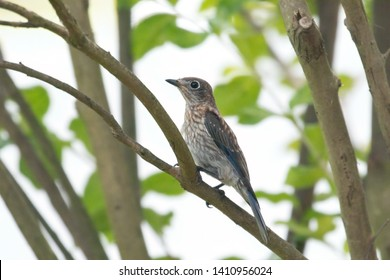 Juvenile Eastern Bluebird in a Crepe Myrtle tree in Florida