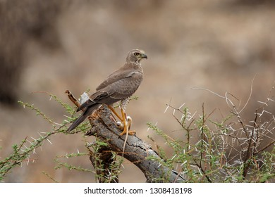 Juvenile Eastern chanting goshawk eating a rat in Samburu National Park in Kenya