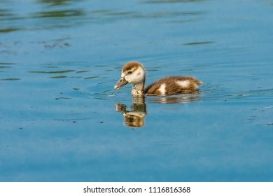 Juvenile egyptian goose swimming on a river