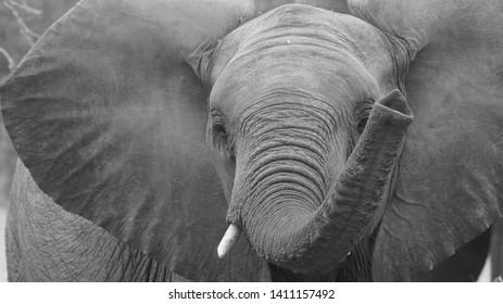 Juvenile Elephant Close Up photo - Kruger National Park - South