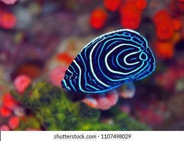 Juvenile emperor angel fish
