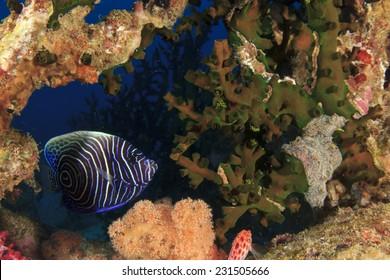 Juvenile Emperor Angelfish hides in coral reef
