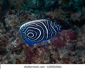 A juvenile Emperor Angelfish (Pomacanthus imperator) in the Indian Ocean