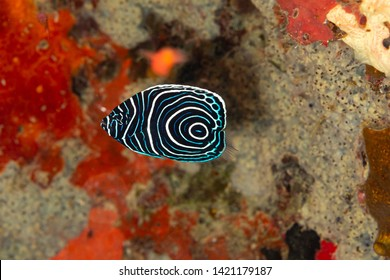 Juvenile emperor angelfish, Pomacanthus imperator, is a species of marine angelfish