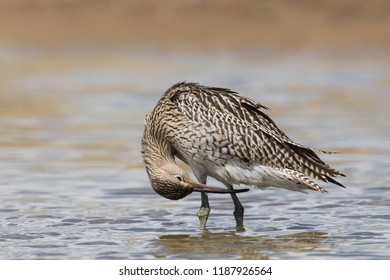 A juvenile Eurasian Curlew also known as Common Curlew (Numenius arquata) preening whilst standing in water, East Yorkshire, UK
