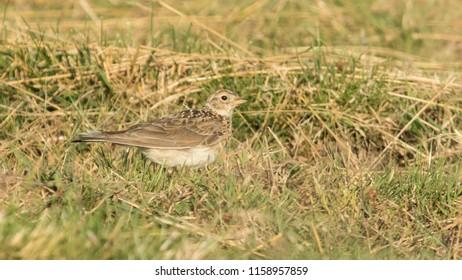 Juvenile Eurasian Skylark in the grass