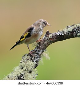 Juvenile European Goldfinch, also known simply as Goldfinch, perched on a moss-like branch