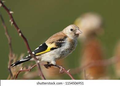 Juvenile European goldfinch in its natural habitat in Denmark