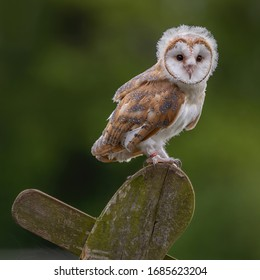 Juvenile female Barn Owl ( Tyto Alba ) with fluff and feathers around it's head perched in a natural environment.