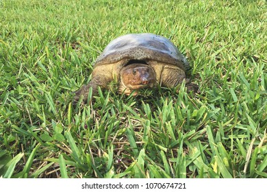 Juvenile Florida softshell turtle ( Apalone Ferox) basking in the Florida sun