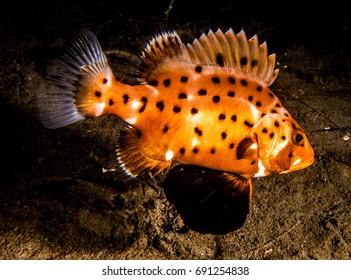 Juvenile Giant Black Sea Bass
