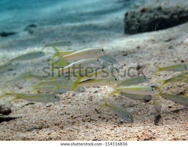 Juvenile goatfish school