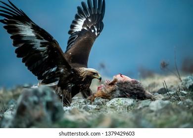 Juvenile Goldean Eagle (Aquila chrysaetos) on prey at mountain meadow in Eastern Rhodopes, Bulgaria