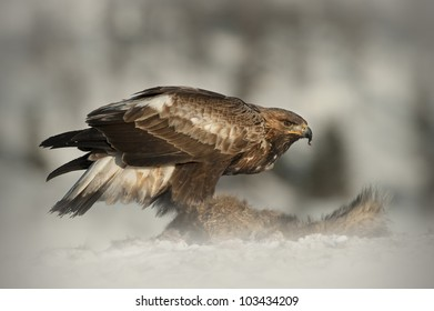 A juvenile Golden Eagle feeding on a Red Fox high in the mountains of central Norway. The image was taken just after sun rise, giving a warmth to the light illuminating the subject.