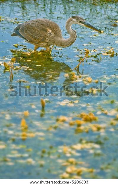 juvenile great blue heron wading in marsh pond