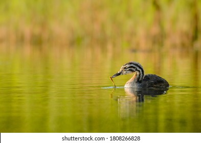 Juvenile great crested grebe (Podiceps cristatus) picking up pieces of reed floating on the water.