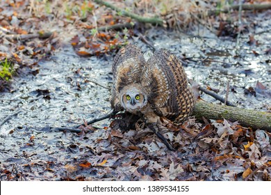 Juvenile great horned owl (Bubo virginianus),natural scene from state forest in Wisconsin