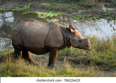 Juvenile greater one-horned rhino (Rhinoceros unicornis) in Chitwan national park, Nepal