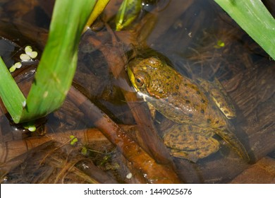 A juvenile Green Frog, still sporting its tadpole tail, is resting in the shallow water. Also known as an American Common Frog. Taylor Creek Park, Toronto, Ontario, Canada.