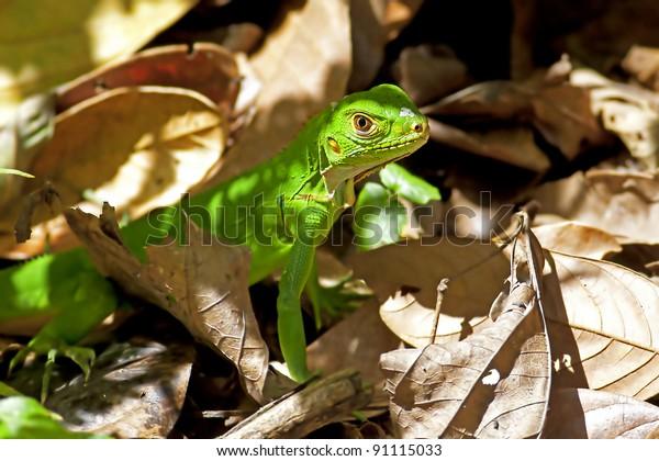 Juvenile green iguana among the leaves in Manuel Antonio national park