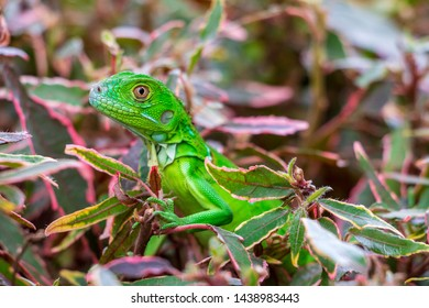 Juvenile green iguana (iguana iguana), closeup on copperleaf plant - Pembroke Pines, Florida, USA