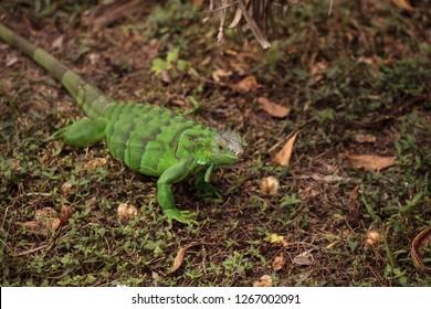 Juvenile green iguana scientifically known as Iguana iguana is an invasive species in Florida.